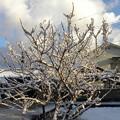 サクランボの樹氷