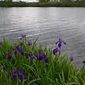 写真: サロベツの花(ノハナショウブ)