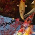 紅葉と鯉と