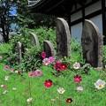 2012年6月6日 般若寺 (6) 夏のコスモスと石仏