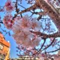 熱海桜(2) HDR