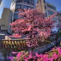 熱海桜(4) HDR