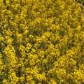 菜の花(1) 長尾川左岸