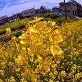 菜の花(2) 長尾川左岸