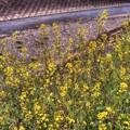 菜の花(5) 長尾川左岸