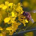 菜の花(6) 長尾川左岸