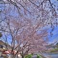 Photos: 長尾川 桜(9)