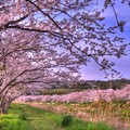 牧之原市 勝間田川の桜 (7) HDR
