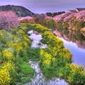 牧之原市 勝間田川の桜 (8) HDR