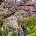 「哲学の道」 桜〈2〉
