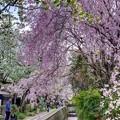 「哲学の道」 桜〈5〉