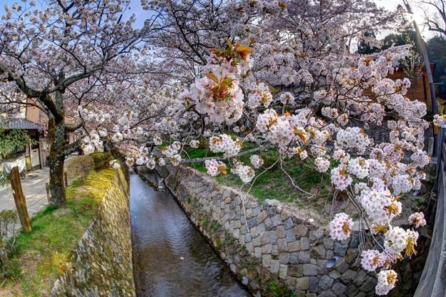 「哲学の道」 桜〈10〉
