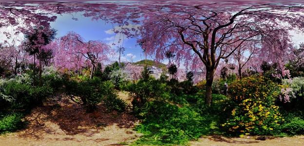 京都・原谷苑の桜 360度パノラマ写真(1)