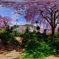 写真: 京都・原谷苑の桜 360度パノラマ写真(1)
