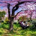 写真: 京都・原谷苑の桜 360度パノラマ写真(3)