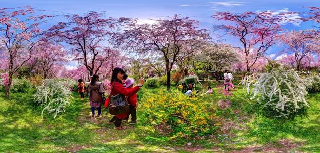 京都・原谷苑の桜 360度パノラマ写真(5)