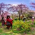 写真: 京都・原谷苑の桜 360度パノラマ写真(5)