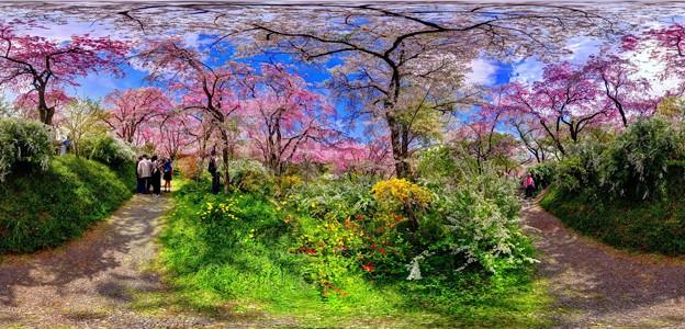 京都・原谷苑の桜 360度パノラマ写真(9)