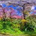 写真: 京都・原谷苑の桜 360度パノラマ写真(9)