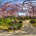 Photos: 平安神宮 桜 360度パノラマ写真〈2〉