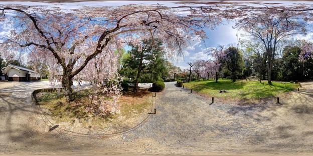 二条城 桜 360度パノラマ写真〈2〉