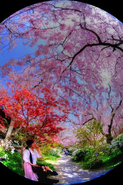 2018年4月4日 京都 原谷苑 桜(2)