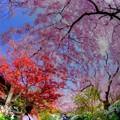 写真: 2018年4月4日 京都 原谷苑 桜(2)