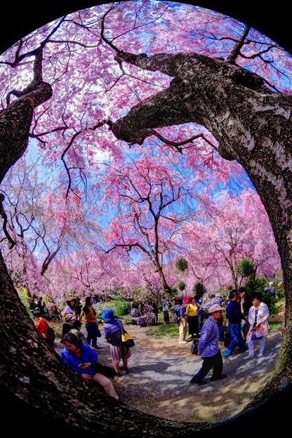 2018年4月4日 京都 原谷苑 桜(4)