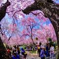 Photos: 2018年4月4日 京都 原谷苑 桜(4)
