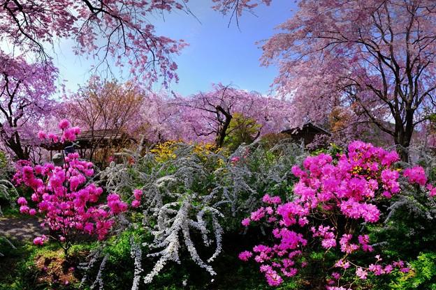 2018年4月4日 京都 原谷苑 桜(6)