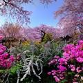 Photos: 2018年4月4日 京都 原谷苑 桜(6)