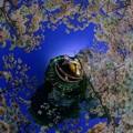Photos: 奈良公園 鷺池 浮見堂 桜 ライトアップ Little Planet