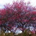 写真: ピンクが濃い梅が好きw