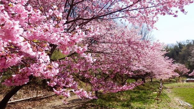 そして桜も満開に
