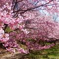 写真: そして桜も満開に