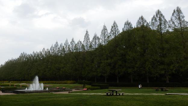 メタセコイヤ並木と噴水