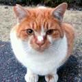 Photos: 茶白の野良猫ちゃん