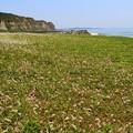 写真: 浜昼顔