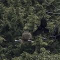 写真: クマタカとカラスの森の決闘