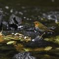 写真: 渓流のコマドリ