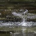 写真: ヤマセミ幼鳥の飛び込み練習