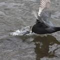 千波湖の黒鳥