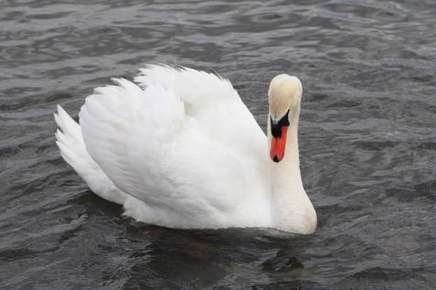 千波湖の鴨と白鳥