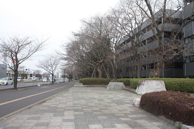 開花前の桜並木の光景 20180319_02