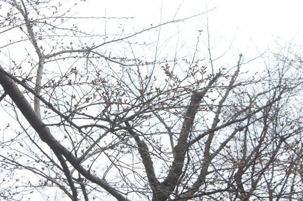 桜の蕾 20180319_05