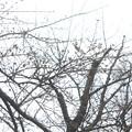 写真: 桜の蕾 20180319_05