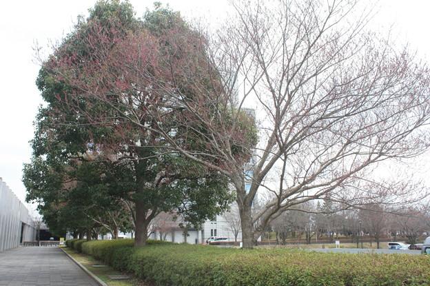 桜の蕾 20180319_09