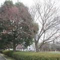 写真: 桜の蕾 20180319_09