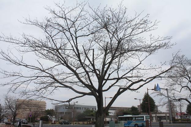 開花前の桜並木の光景 20180319_05