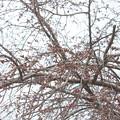 開花前の垂れ桜 20180319_03